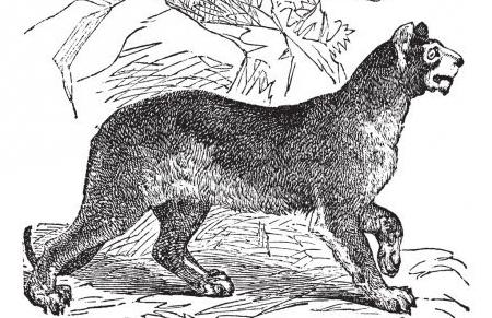 depositphotos_6728983-stock-illustration-cougar-or-puma-or-panther